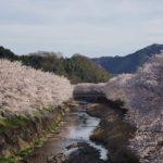 日本人はなぜ桜好き?