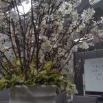 【ポプラ】 サクラ~♪ 桜~♪