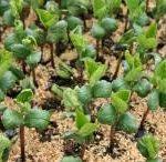 黒豆の種まき