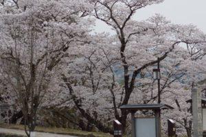 桜2  西紀